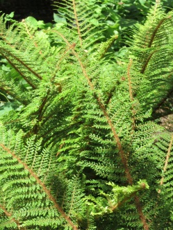 Polystichum setiferum soft shield fern