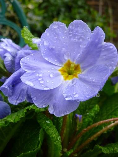 Primrose blue