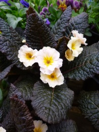 Primula vulgaris Kennedy Dunbeg