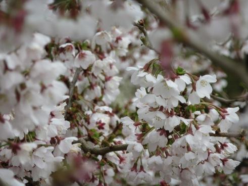 Prunus incisa Ko jo no mai