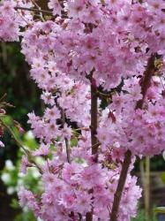 Prunus subhirtella Fukubana