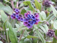 Pulmonaria Barfield Regalia