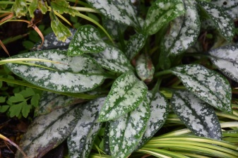 Pulmonaria Mrs Kittle (leaves)