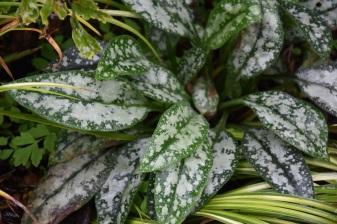 Pulmonaria Mrs Kittle (leaves)