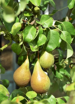 Pyrus Pear Conference