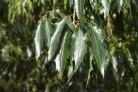 Quercus sartorii