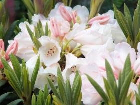 Rhododendron yakushimanum Grumpy