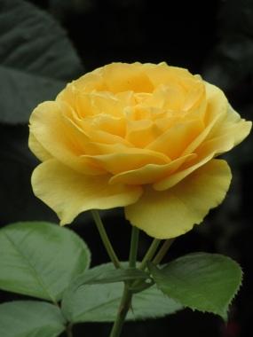 Rosa Absolutely Fabulous Wekvossutono