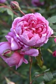 Rosa Alan Titchmarsh 1