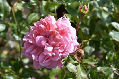 Rosa Ann Boleyn