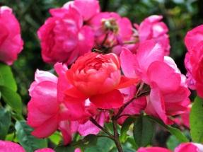 Rosa Benjamin Britten 1 (2)