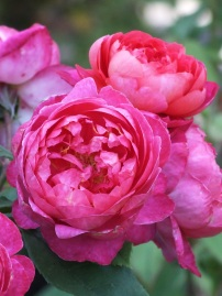 Rosa Benjamin Britten (2)