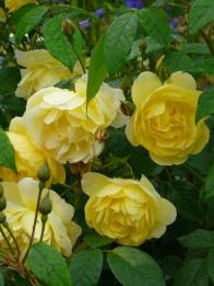 Rosa Blythe Spirit bush