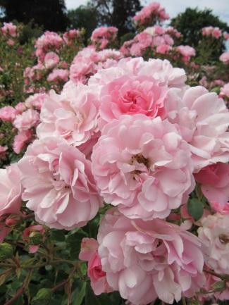 Rosa Bonica 82