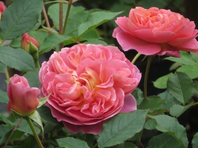 Rosa Boscobel (3)