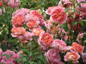 Rosa Boscobel 3