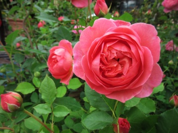 Rosa Boscobel 5