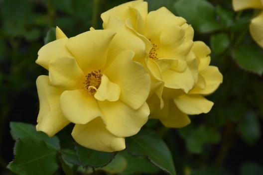 Rosa Bright Smile (2)