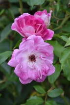 Rosa Brilliant Pink Iceberg