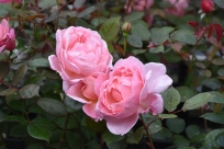 Rosa Brother Cadfael (2)
