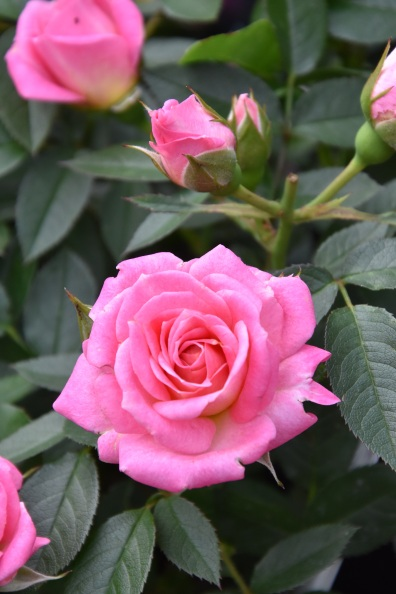 Rosa Carefree Days