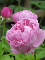 Rosa Charles Rennie Macintosh