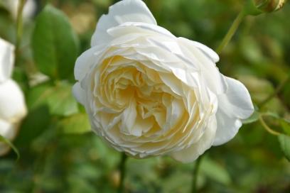 Rosa Claire Austin 1