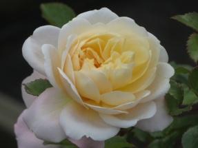 Rosa Crocus Rose Ausquest