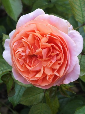 Rosa Duchess of Cornwall