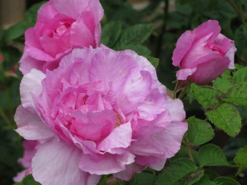 Rosa Empress Josephine