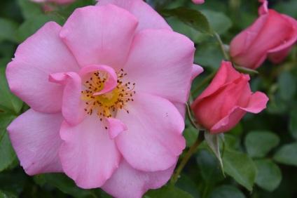 Rosa Esperanza (2)