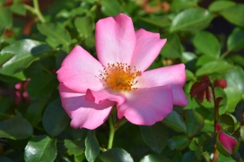 Rosa Esperanza 2