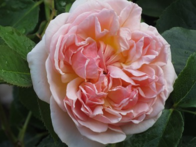 Rosa Evelyn1