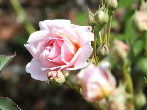 Rosa Felicia (2)