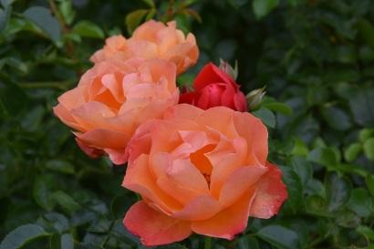 Rosa Fellowship