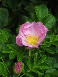 Rosa Fru Dagmar Hastrup (2)