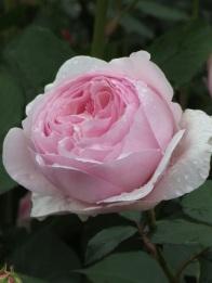 Rosa Geoff Hamilton