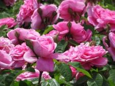 Rosa Gertrude Jekyll 1 (2)