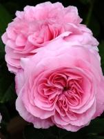 Rosa Gertrude Jekyll duo