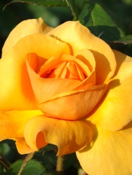 Rosa Golden Beauty 1
