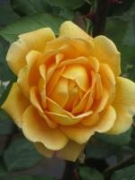 Rosa Golden Celebration 1