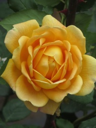 Rosa Golden Celebration 1