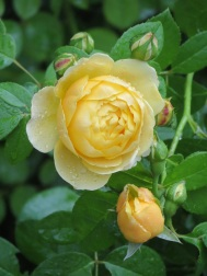 Rosa Golden Celebration (2)