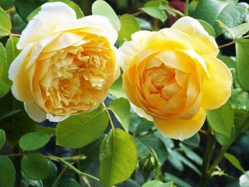 Rosa Golden Celebration 5