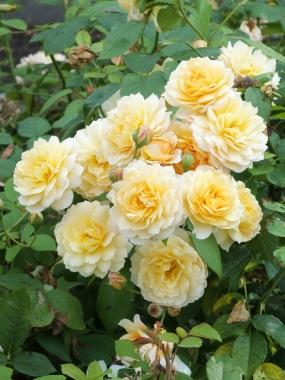 Rosa Grace group