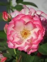 Rosa Hannah Gordon
