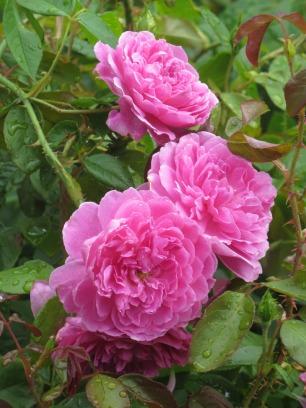 Rosa Harlow Carr 2
