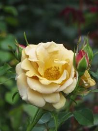 Rosa Honey Dijon