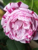 Rosa Honorine de Brabant 1