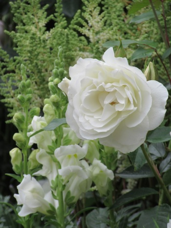 Rosa Iceberg White Antirrhinum White Astilbe